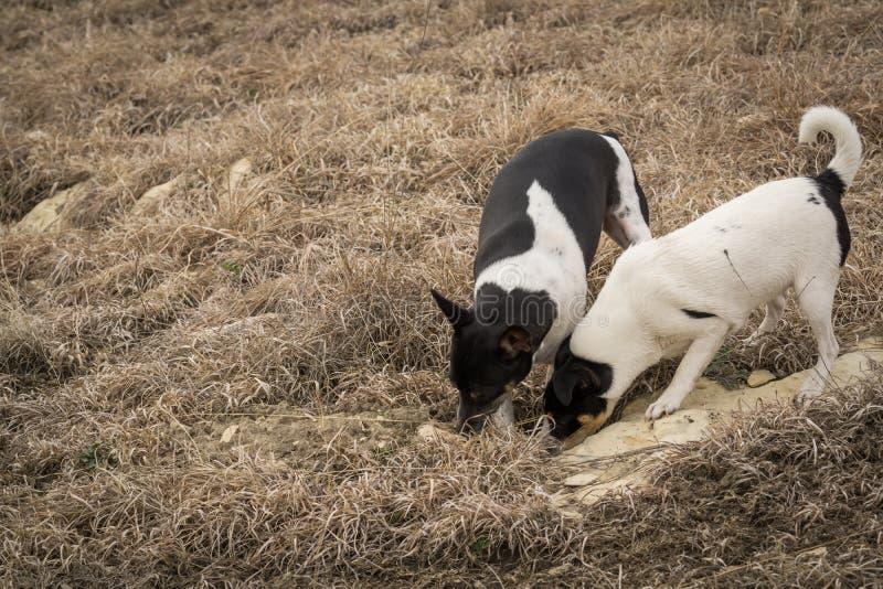 Собаки охотясь и выкапывая стоковое фото