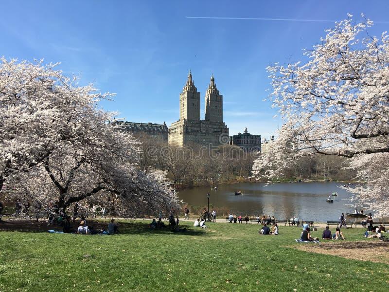 2 собаки персоны 3 одно sakuura в апреле собак персоны 3 в дереве Нью-Йорка Central Park стоковое изображение