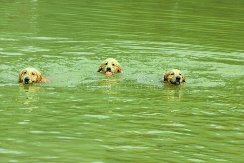 собаки плавая стоковое изображение rf