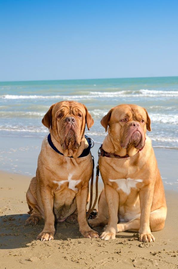 собаки пляжа стоковое фото