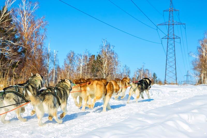 Собаки скелетона malomuty и осиплый ход на дороге вперед стоковое фото
