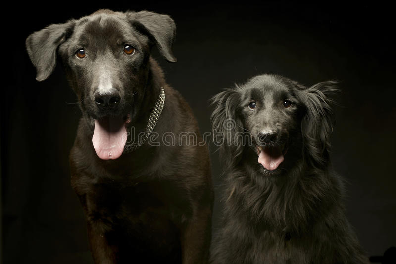 Собаки смешанной породы черные удваивают портрет в темной студии фото стоковые фото