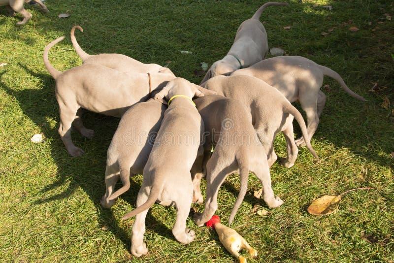 Собаки собачьи породы веймаранеры стоковые изображения rf