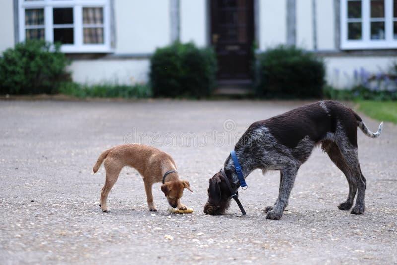 2 собаки с воротниками нашли еда стоковое фото