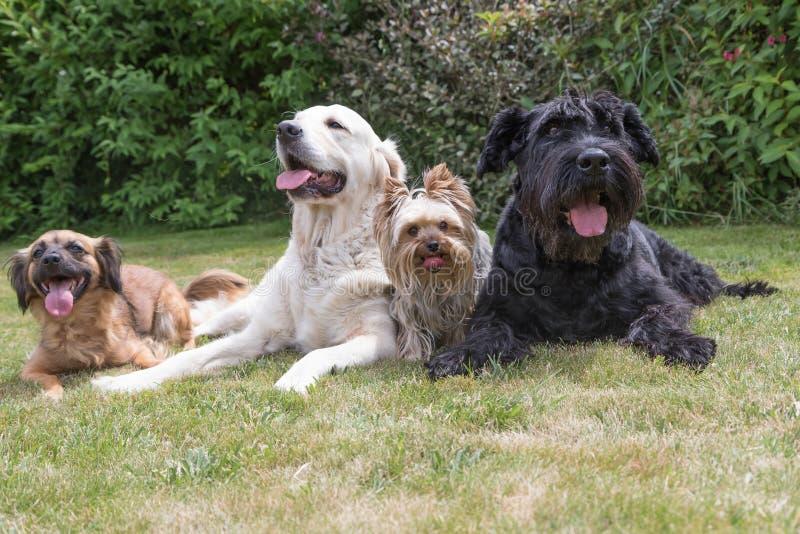 Собаки с выступая языком лежат на лужайке стоковое изображение rf