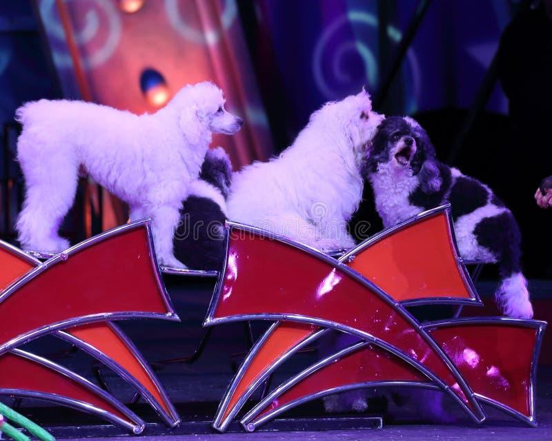 Собаки цирка стоковое изображение rf