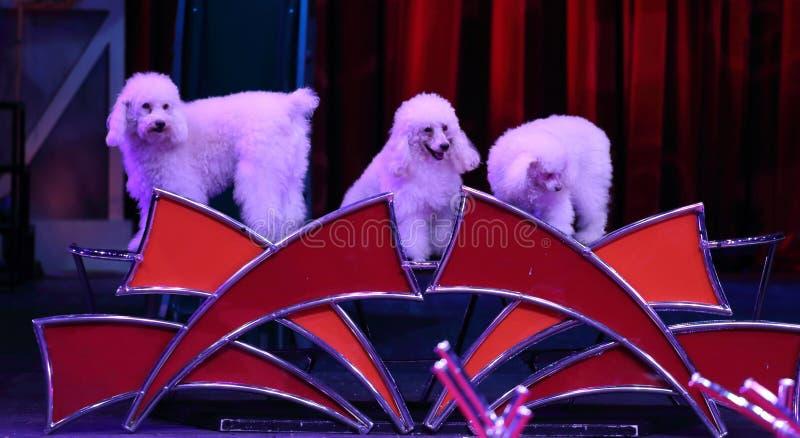 Собаки цирка стоковые фото