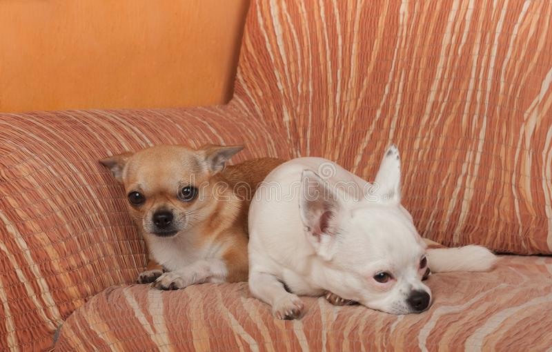 2 собаки чихуахуа лежат на софе, 2,5 старой летах женщины циннамона и 5 летах старой белой женщины стоковая фотография