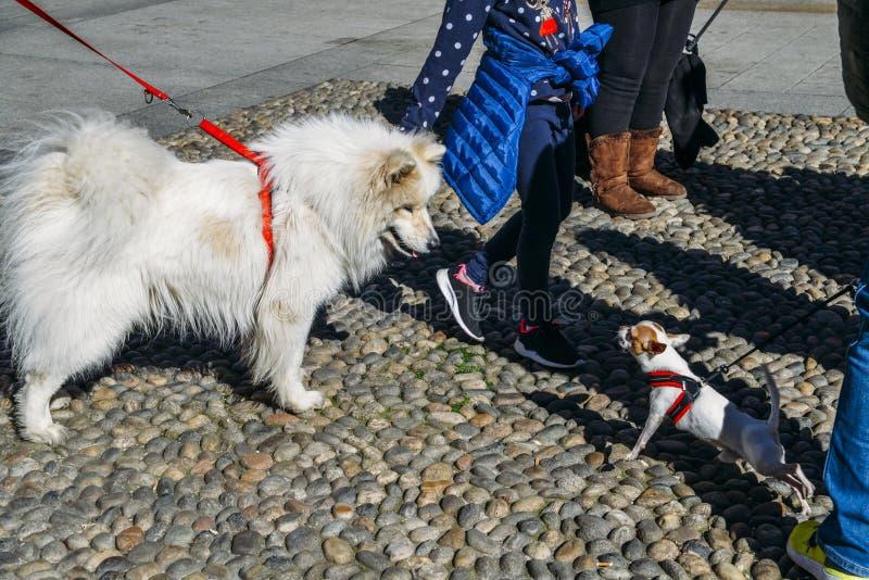 Собаки Chiwawa и Samoyed на улице лаяя на одине другого стоковое фото