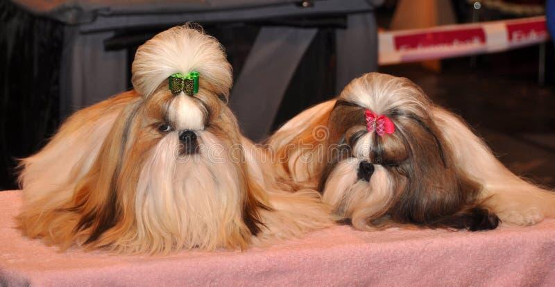 Собаки Shih Tzu стоковые изображения rf