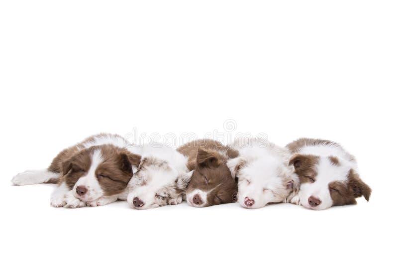 5 собак щенка Коллиы границы в ряд стоковые фотографии rf