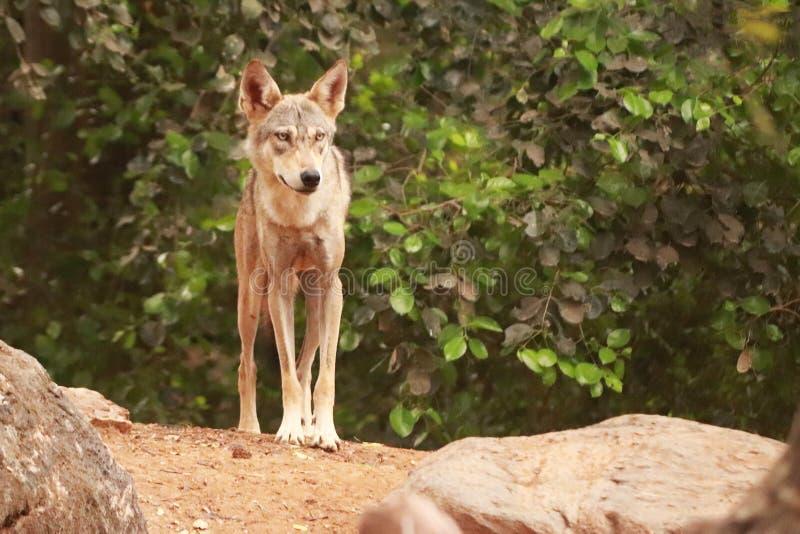 Собачий на рыскании в лесе стоковая фотография rf