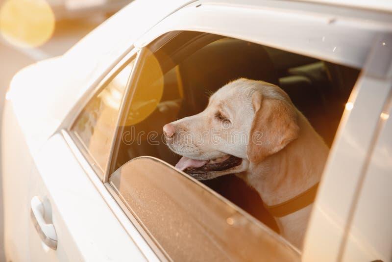 Собач лабрадоров один в машине в тепле, окно открыто Понять маршрут ожидания стоковое изображение
