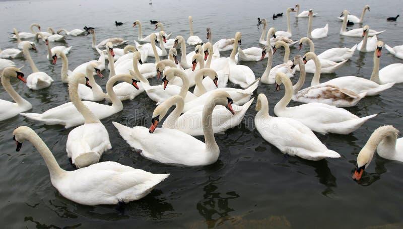 соберите лебедей стоковая фотография