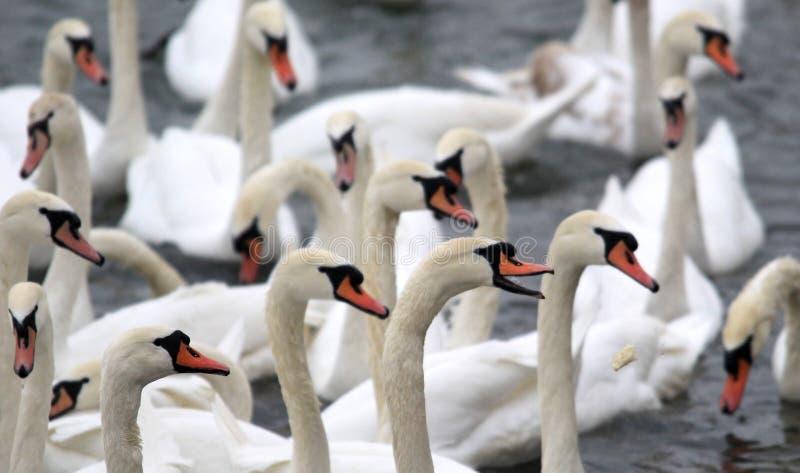 соберите лебедей стоковое фото rf