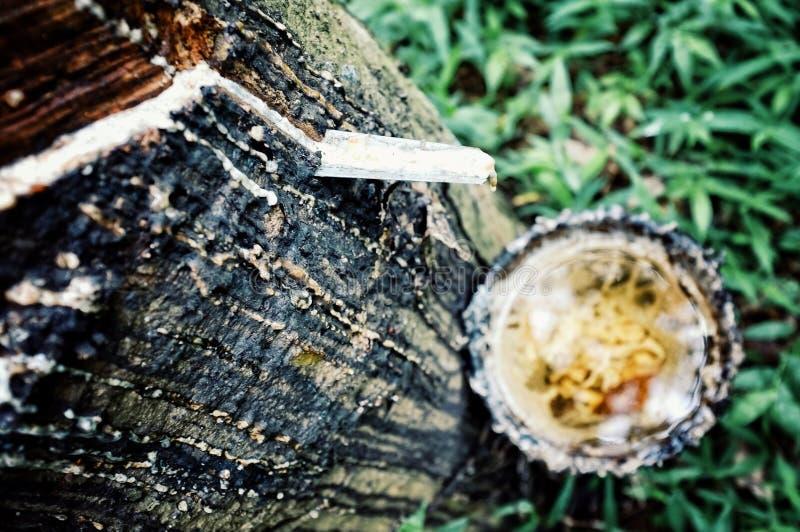 Собирать органическую резину от дерева в Юго-Восточной Азии стоковое изображение rf