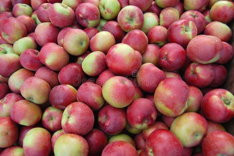собирать яблока стоковое фото rf