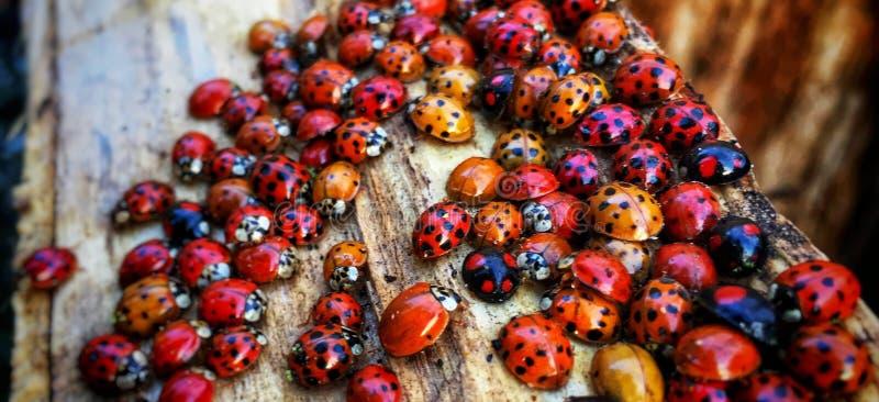 Собирать Ladybugs стоковая фотография