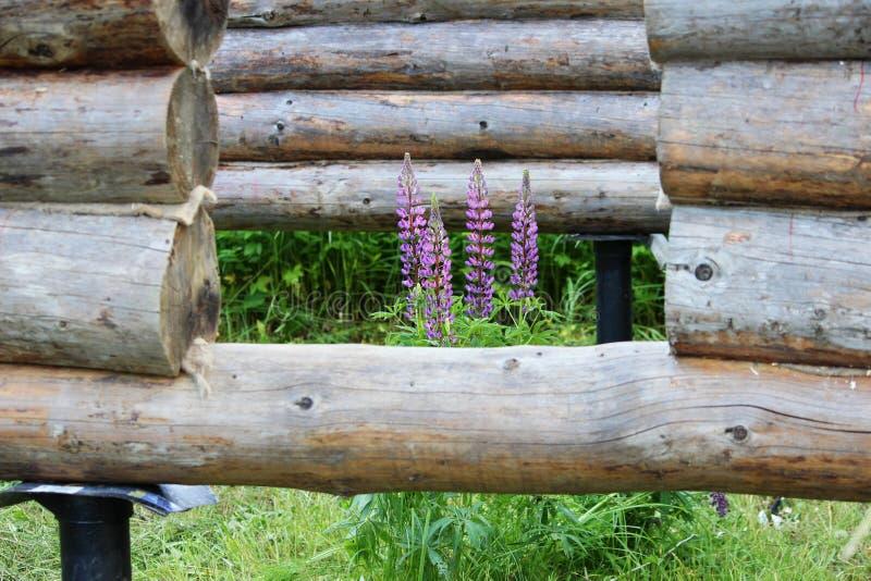 Собирающ деревянную рамку и строить дом Россия Текстура старых деревянных журналов, фиолетового lupine и отверстий для стоковые фото