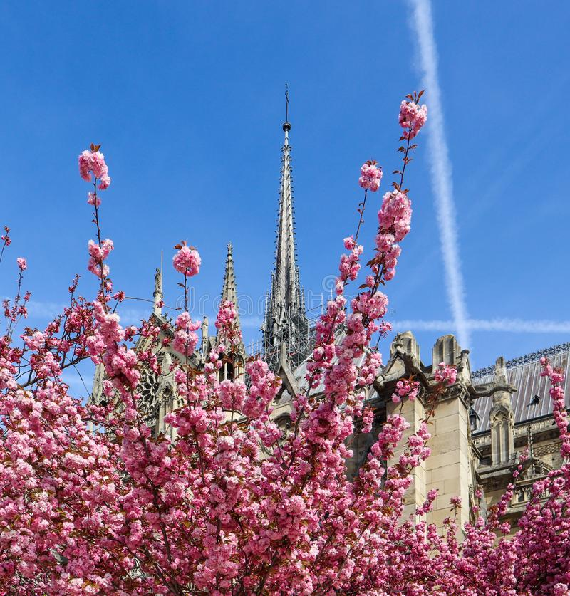 Собор Нотр-Дам в вишневом цвете Весна в Париже Франции 5-ое апреля 2019 Перед огнем стоковое изображение