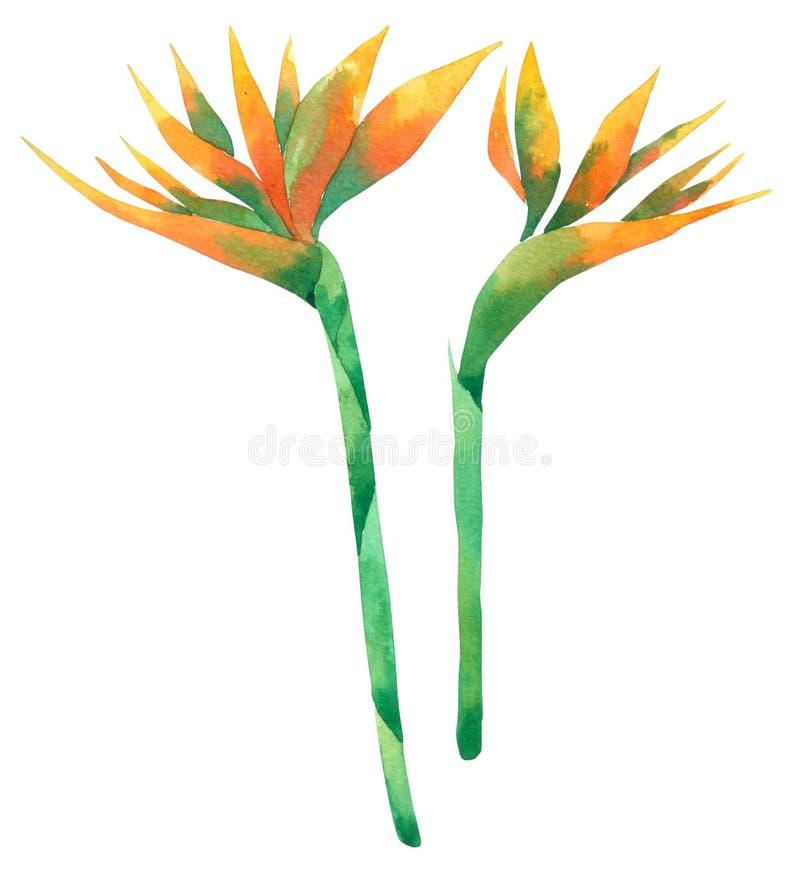 Собрание акварели цветка птицы изолированное на белой предпосылке иллюстрация вектора