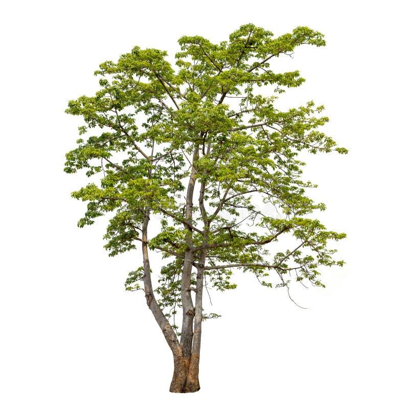 Собрание деревьев изолированных на белой предпосылке стоковое изображение