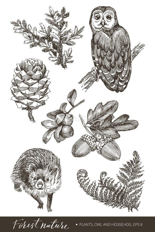 Собрание жолудей сильно детальной руки вычерченных, конуса, ветви ели, папоротника, сыча и ежа изолированных на белой предпосылке иллюстрация вектора