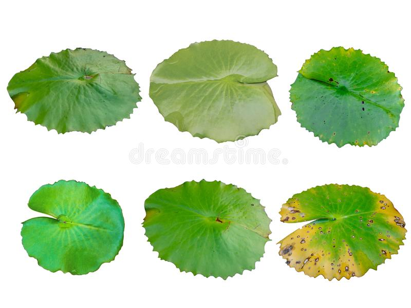 Собрание зеленых лист лотоса на белой предпосылке стоковое изображение