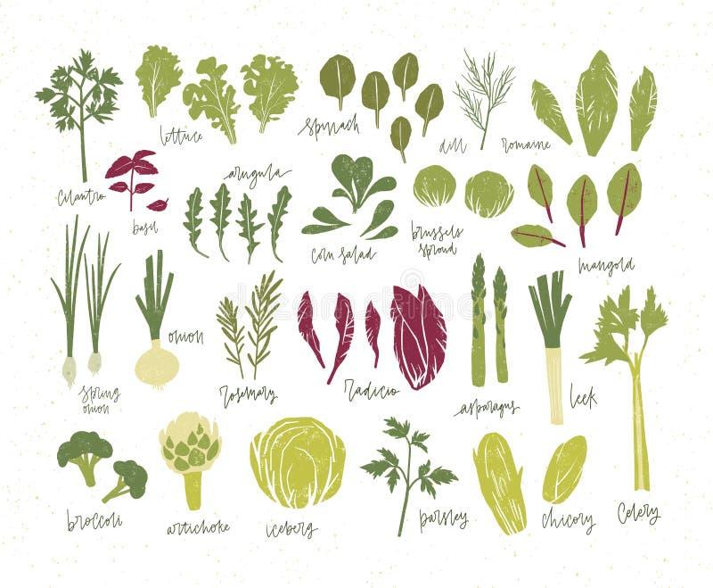 Собрание зеленых растений Пачка вкусных овощей и листьев салата изолированных на белой предпосылке Очень вкусная здоровая иллюстрация вектора
