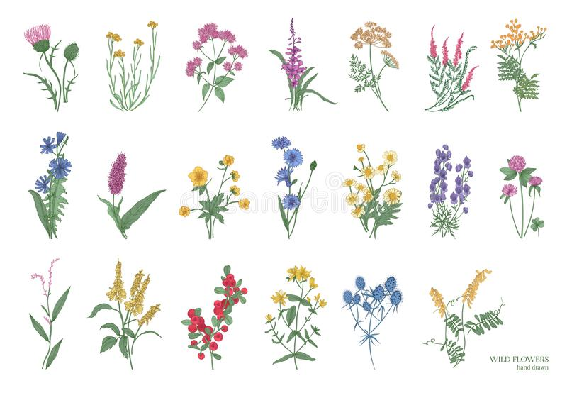 Собрание красивых одичалых трав, herbaceous цветковых растений, зацветая цветков, кустарников и subshrubs изолированных дальше бесплатная иллюстрация