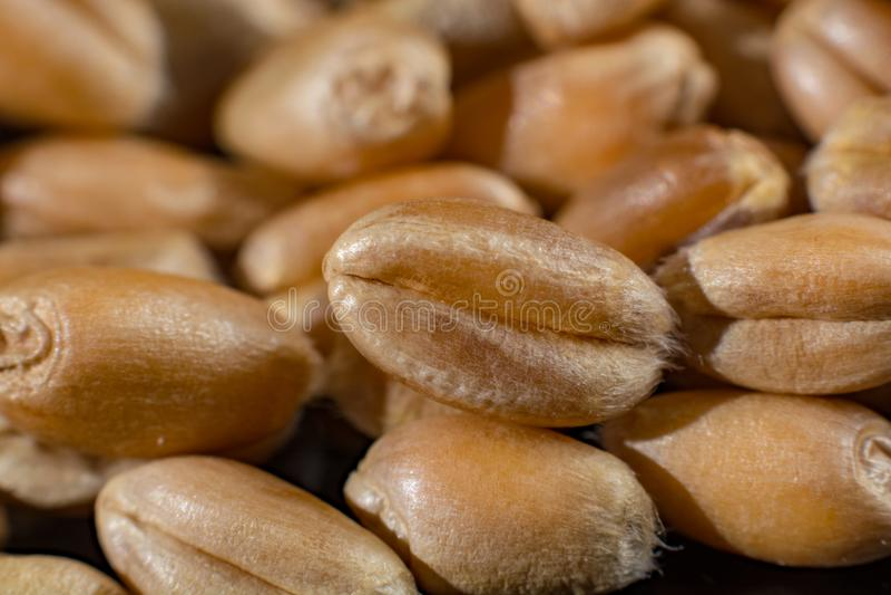 Собрание макроса, сухие белые семена пшеницы закрывает вверх на черноте стоковые изображения rf