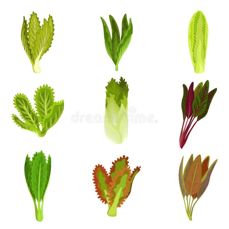 Собрание свежих листьев салата, radicchio, салат, romaine, листовая капуста, collard, щавель, шпинат, mizuna, здоровое органическ иллюстрация вектора