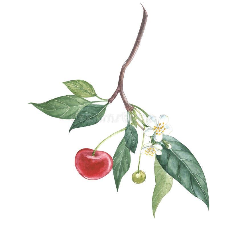 Собрание сильно детальной вишни нарисованной рукой Иллюстрация акварели ботаническая изолированная на белой предпосылке бесплатная иллюстрация