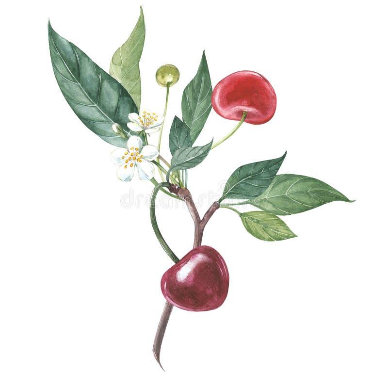 Собрание сильно детальной вишни нарисованной рукой Иллюстрация акварели ботаническая изолированная на белой предпосылке иллюстрация вектора
