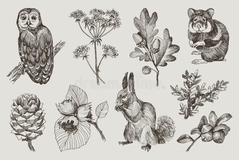 Собрание сыча сильно детальной руки вычерченного, хомяка, белки, жолудей, ветви ели, ягод, конуса сосны, фундука иллюстрация вектора