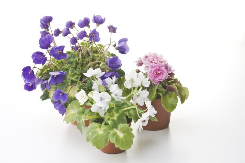 Собрание фиолетовых цветков в баках стоковое фото