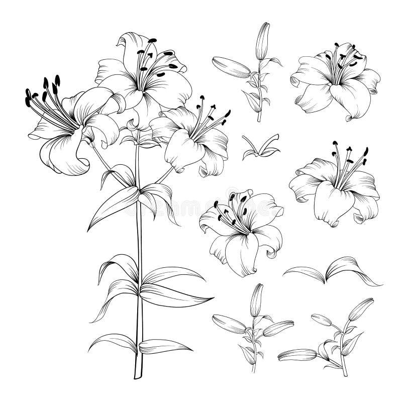 Собрание элементов цветков лилии r Пачка цветка джунглей цветения Черные цветки лилий иллюстрация штока