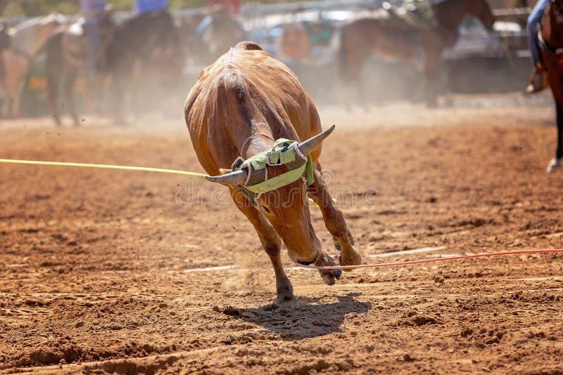 Событие родео австралийской икры команды Roping стоковое фото