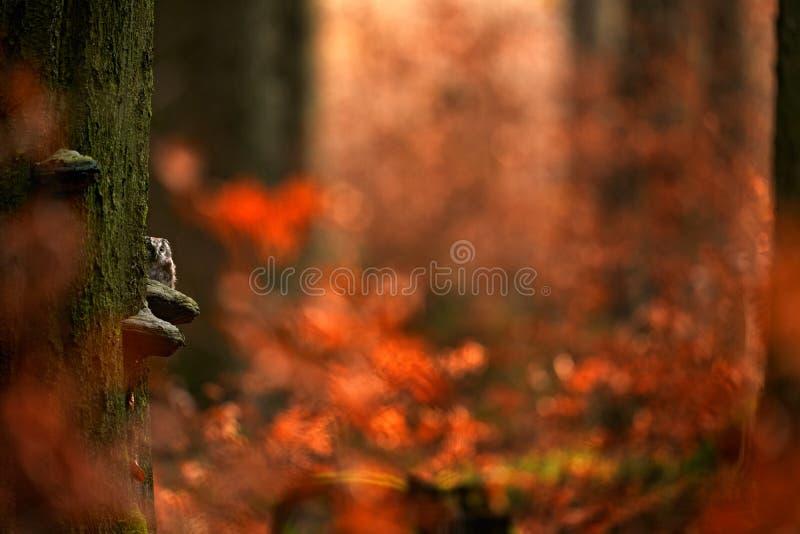 Сова, спрятанная в оранжевом осеннем лесу, сидя на дереве полипор, природа-местообитат, Германия Стекло дерево в оранжевом, Птаха стоковые изображения