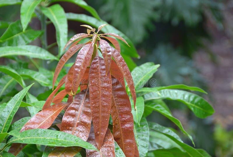 Совершенно новые листья раскрывая на молодом деревом манго стоковые фото