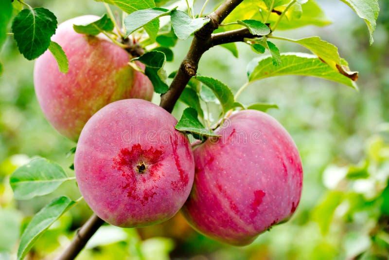 Совершенные красные яблоки вися на ветви дерева стоковое изображение