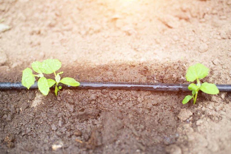 Современная система в капельном орошении agronomy для сохранения воды и свежести и питания заводов в саде, распределителей капель стоковая фотография rf