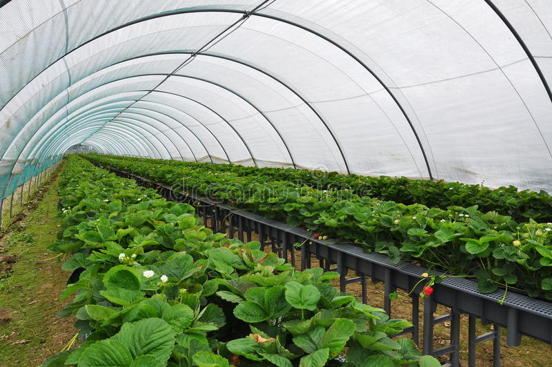 Современная ферма клубники Промышленное сельское хозяйство тоннеля стоковые изображения rf