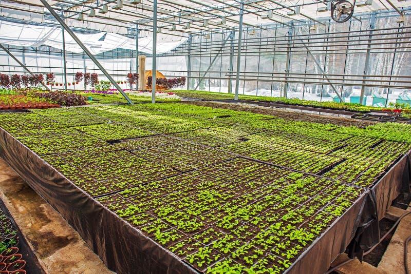Современная hydroponic внутренность парника или парника внутренняя, промышленное земледелие стоковые фото