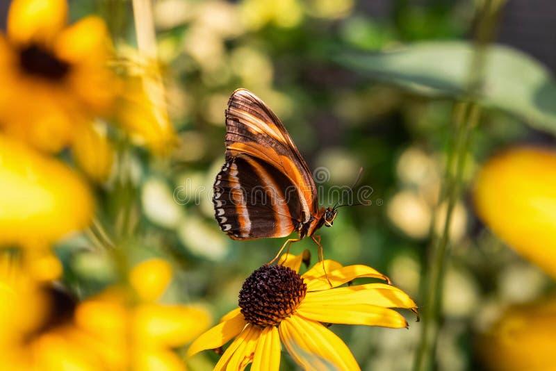 Соединенное оранжевое Heliconian стоковое изображение