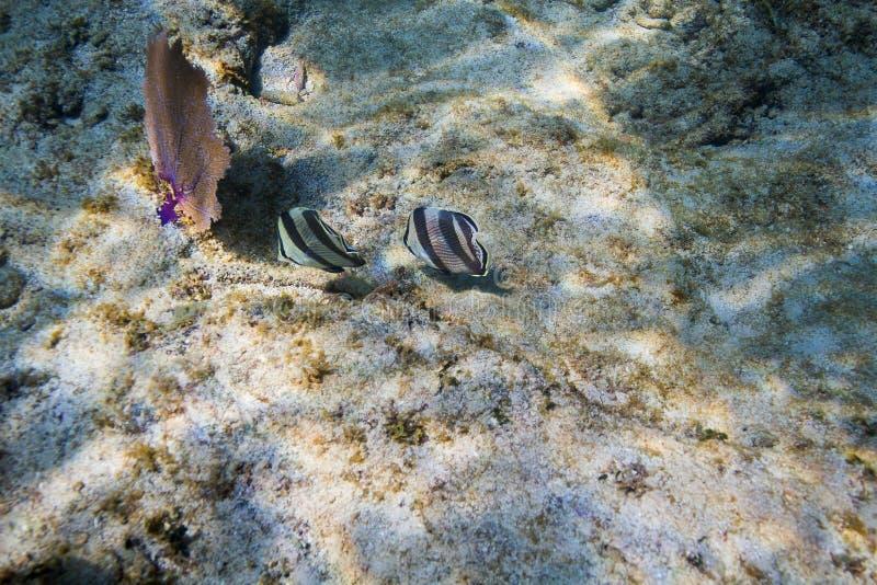 соединенное butterflyfish стоковое фото rf