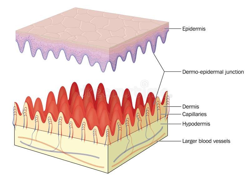 Соединение кожи эпидермическое дермальное иллюстрация вектора