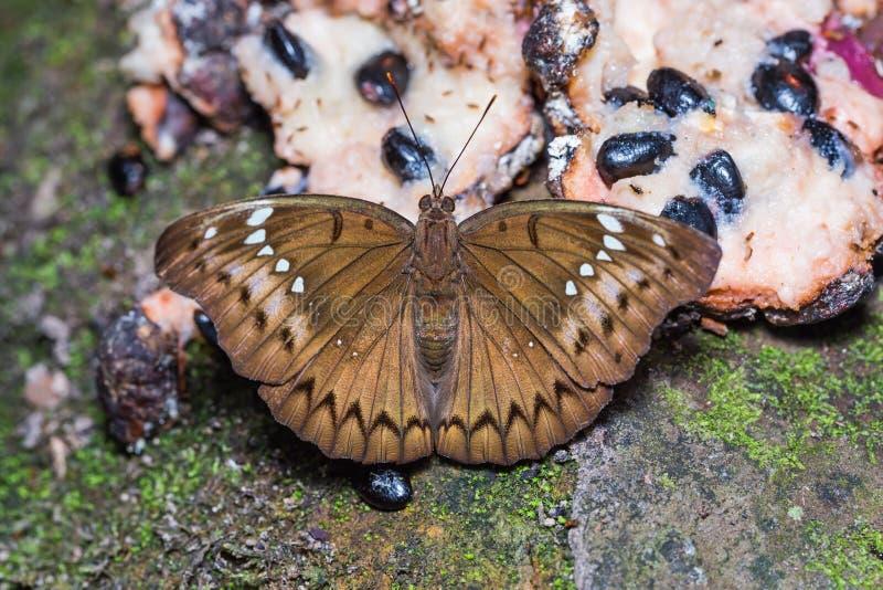 Соединенная бабочка маркиза стоковые изображения rf
