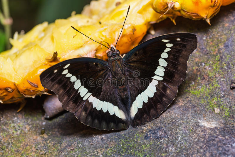 Соединенная бабочка маркиза стоковая фотография