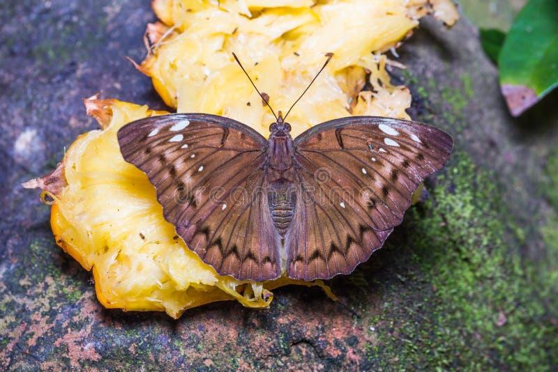 Соединенная женщиной бабочка маркиза стоковая фотография